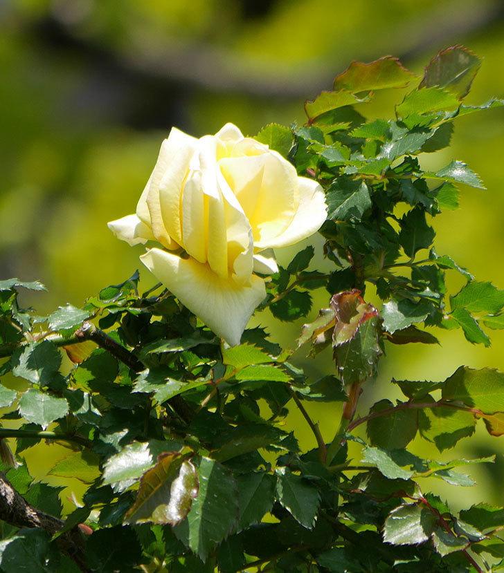 つるゴールドバニー(ツルバラ)の花が咲いた。2020年-1.jpg