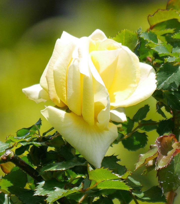 つるゴールドバニー(ツルバラ)の花が咲いた。2020年-2.jpg