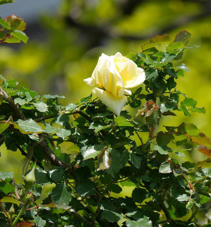 つるゴールドバニー(ツルバラ)の花が咲いた。2020年-3.jpg