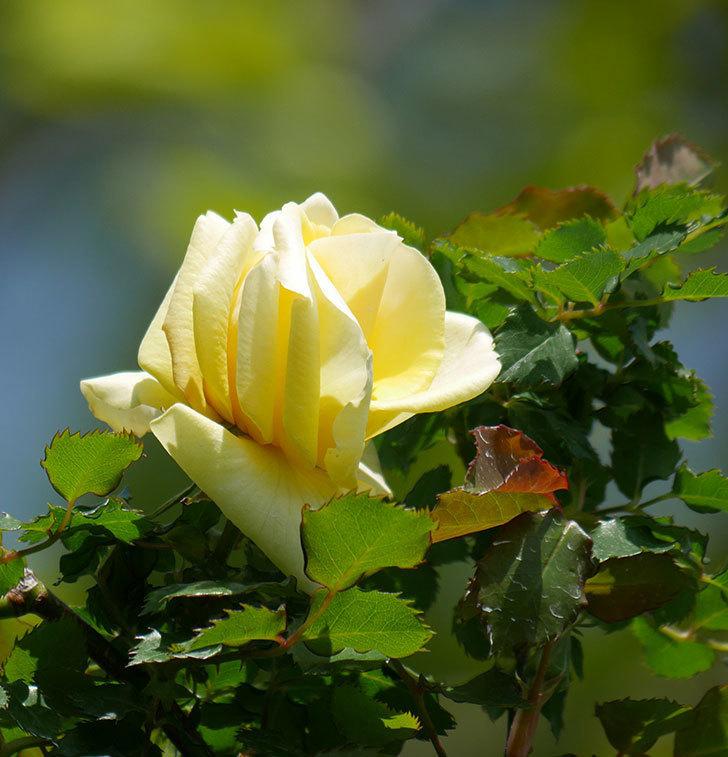 つるゴールドバニー(ツルバラ)の花が咲いた。2020年-4.jpg