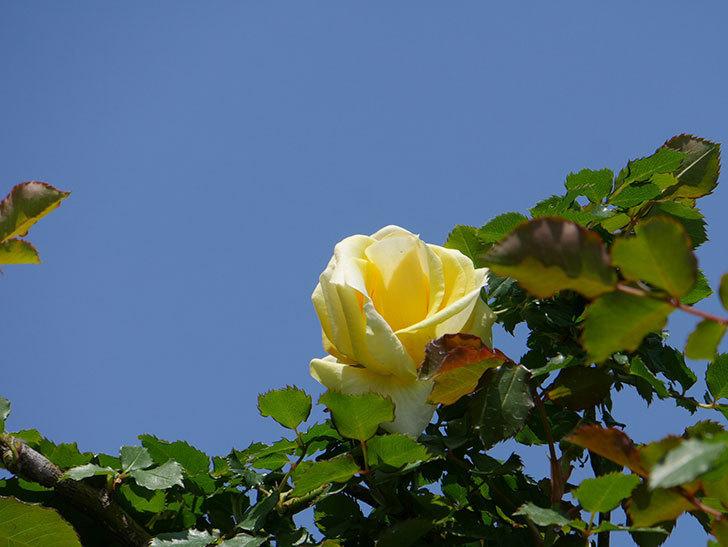 つるゴールドバニー(ツルバラ)の花が咲いた。2020年-5.jpg