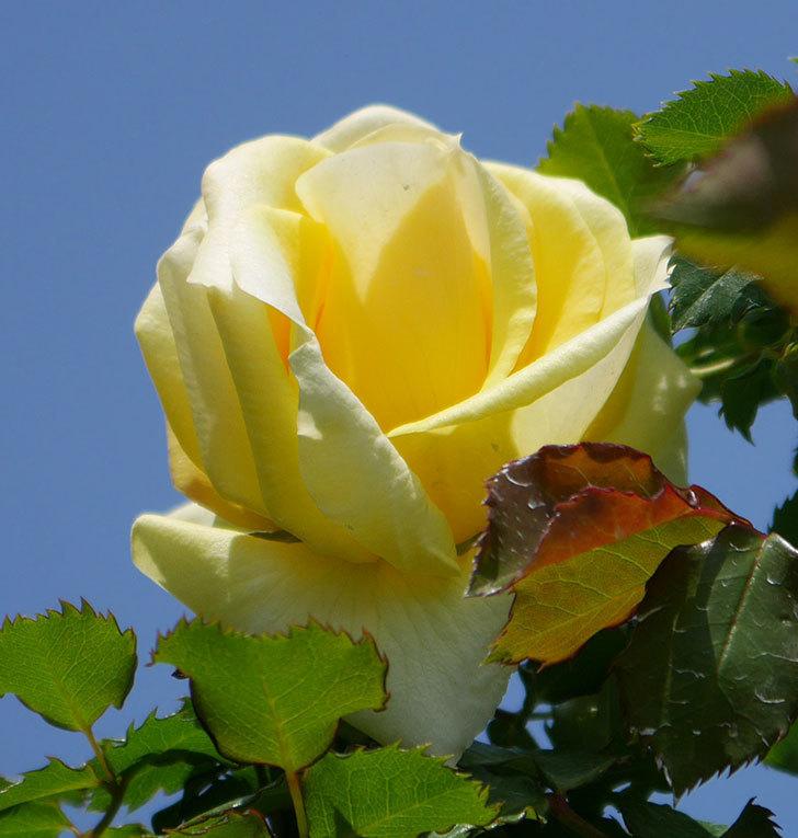 つるゴールドバニー(ツルバラ)の花が咲いた。2020年-6.jpg