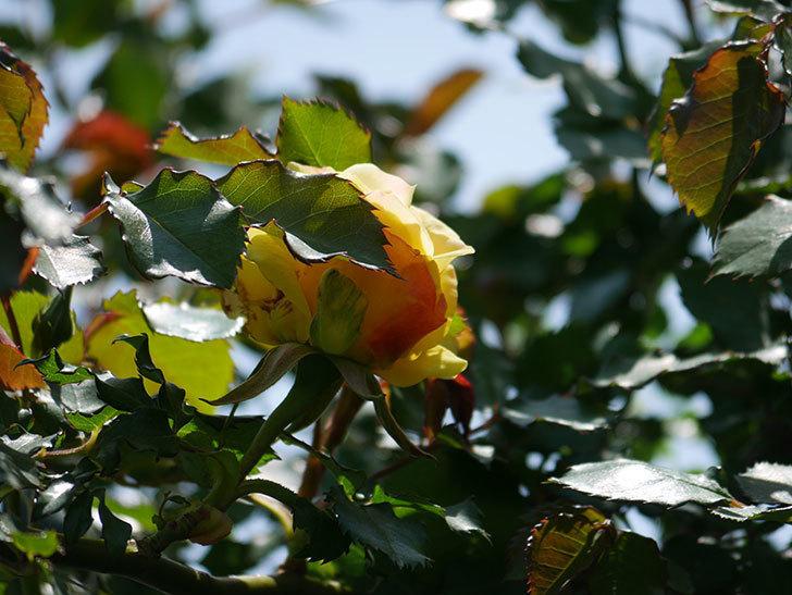 つるゴールドバニー(ツルバラ)の花が咲いた。2020年-7.jpg