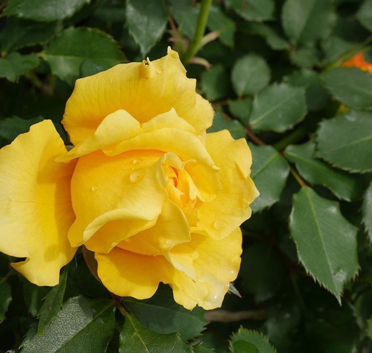 つるゴールドバニー(ツルバラ)の花が咲きだした。2019年-1.jpg