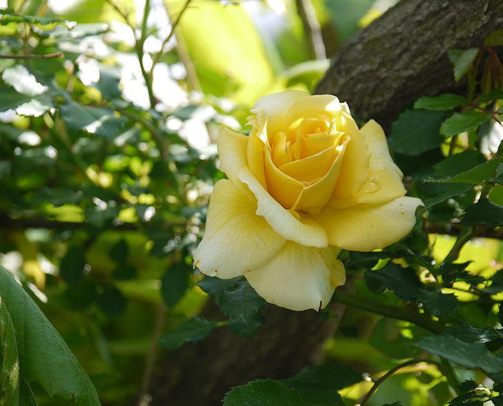 つるゴールドバニー(ツルバラ)の花が増えてきた。2018年-1.jpg