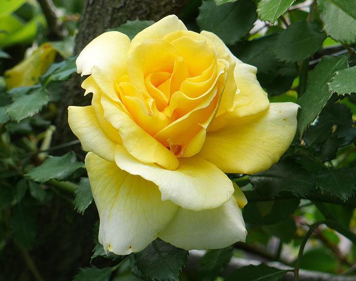 つるゴールドバニー(ツルバラ)の花が増えてきた。2018年-10.jpg