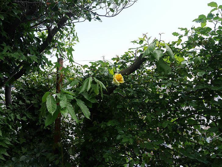 つるゴールドバニー(ツルバラ)の花が増えてきた。2018年-11.jpg