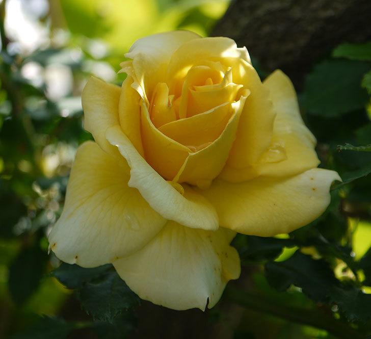 つるゴールドバニー(ツルバラ)の花が増えてきた。2018年-2.jpg