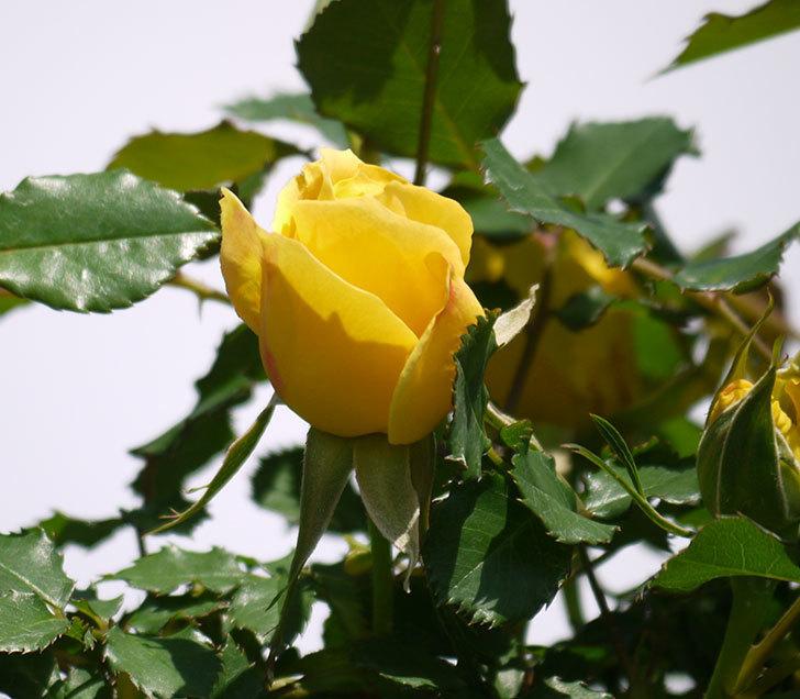 つるゴールドバニー(ツルバラ)の花が増えてきた。2018年-5.jpg