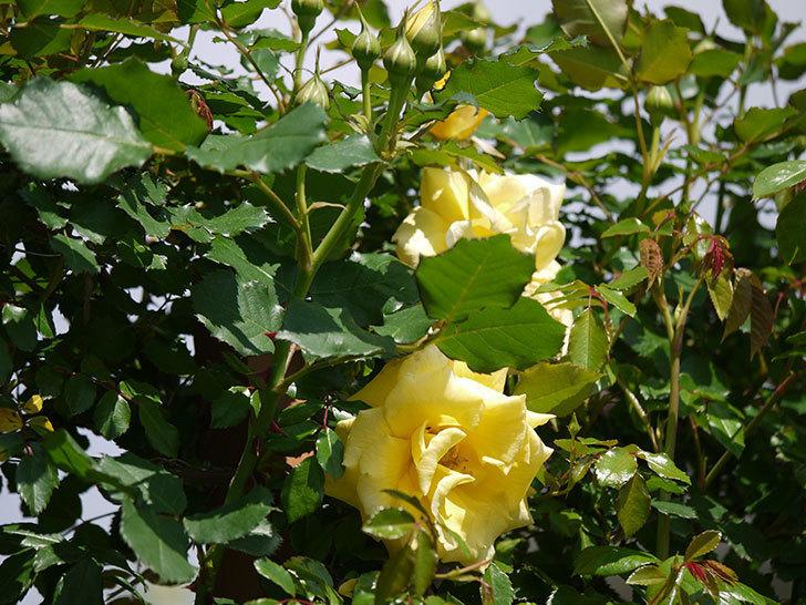 つるゴールドバニー(ツルバラ)の花が増えてきた。2018年-6.jpg