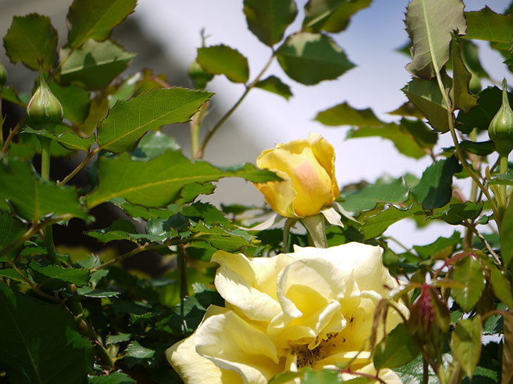 つるゴールドバニー(ツルバラ)の花が増えてきた。2018年-7.jpg