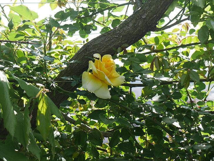 つるゴールドバニー(ツルバラ)の花が増えてきた。2018年-8.jpg