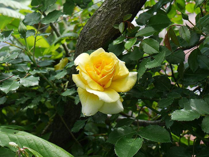 つるゴールドバニー(ツルバラ)の花が増えてきた。2018年-9.jpg