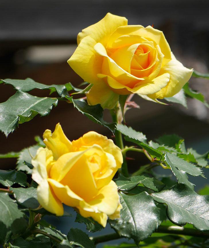 つるゴールドバニー(ツルバラ)の花が増えて来た。2019年-1.jpg