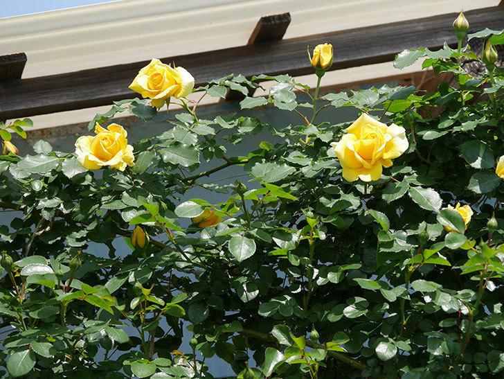 つるゴールドバニー(ツルバラ)の花が増えて来た。2019年-10.jpg