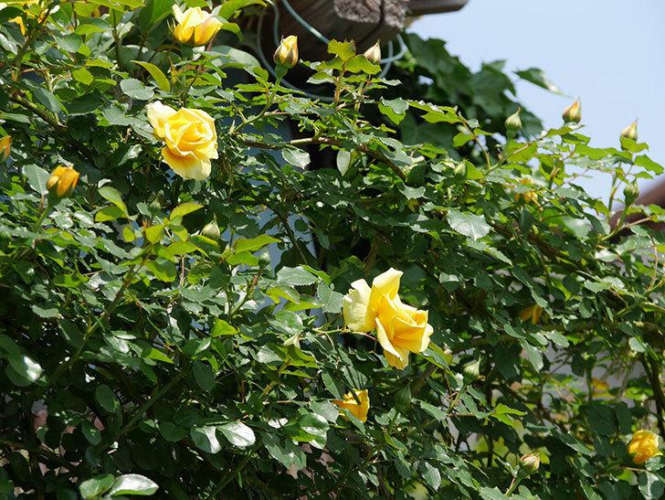 つるゴールドバニー(ツルバラ)の花が増えて来た。2019年-11.jpg