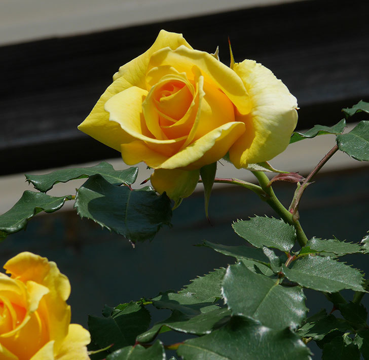 つるゴールドバニー(ツルバラ)の花が増えて来た。2019年-12.jpg