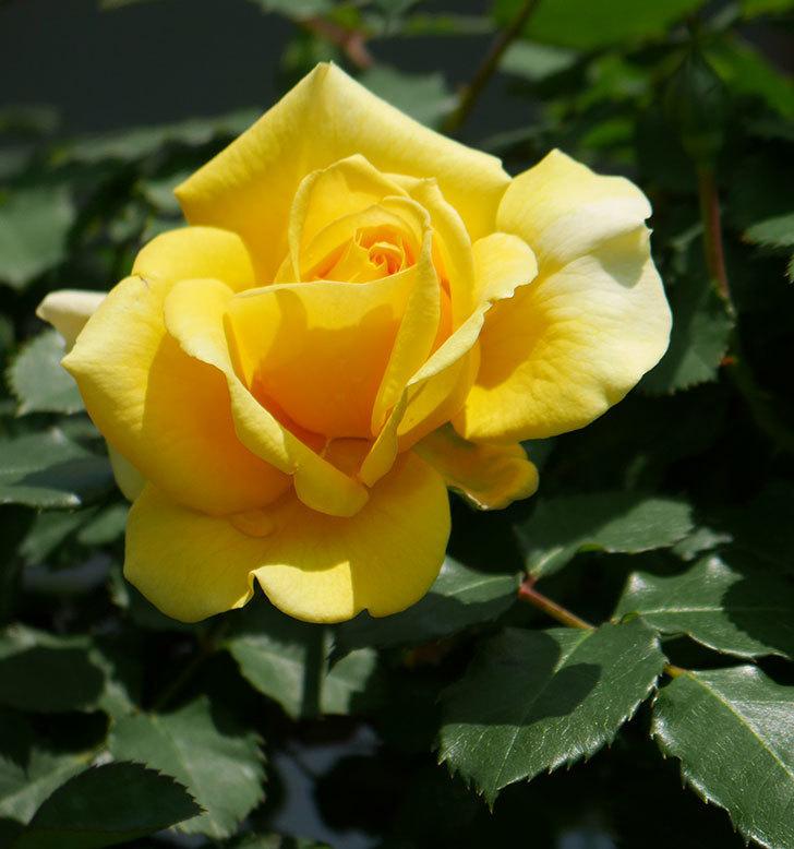 つるゴールドバニー(ツルバラ)の花が増えて来た。2019年-13.jpg
