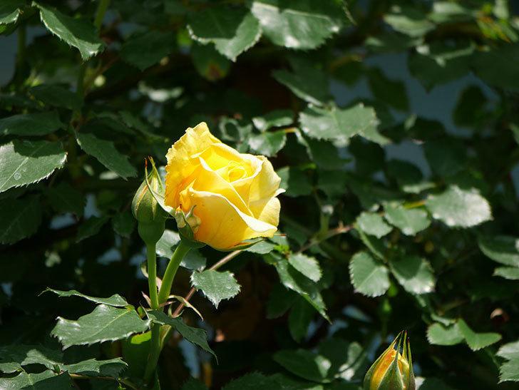 つるゴールドバニー(ツルバラ)の花が増えて来た。2019年-14.jpg
