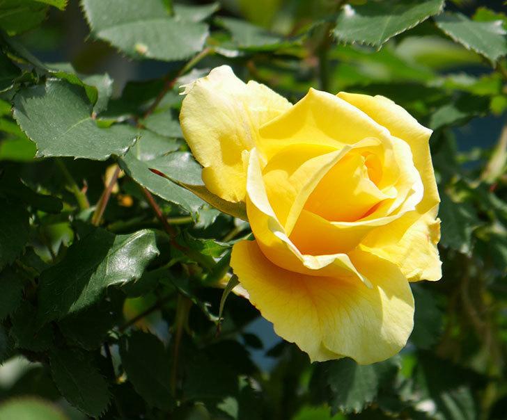 つるゴールドバニー(ツルバラ)の花が増えて来た。2019年-15.jpg