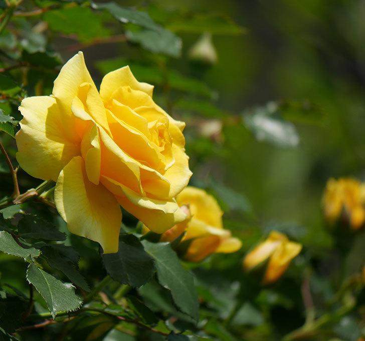 つるゴールドバニー(ツルバラ)の花が増えて来た。2019年-16.jpg