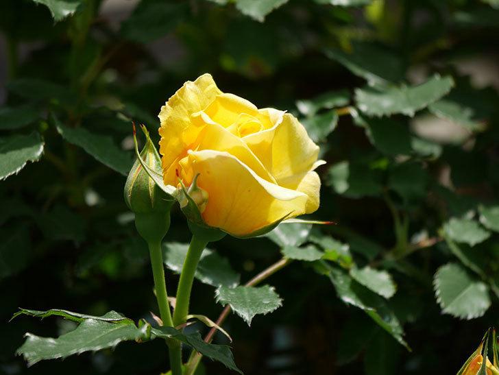 つるゴールドバニー(ツルバラ)の花が増えて来た。2019年-19.jpg