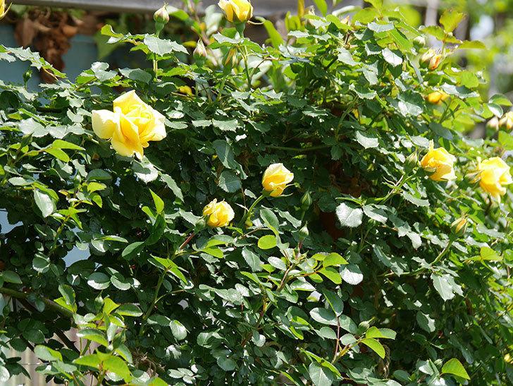 つるゴールドバニー(ツルバラ)の花が増えて来た。2019年-2.jpg