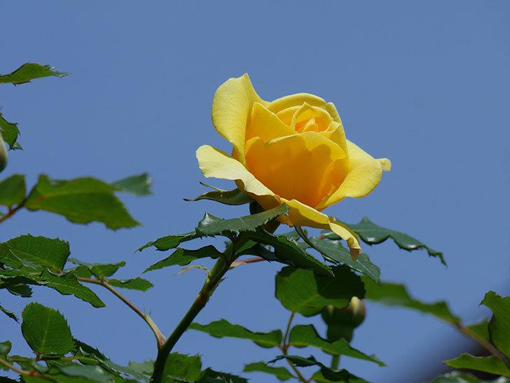 つるゴールドバニー(ツルバラ)の花が増えて来た。2019年-20.jpg