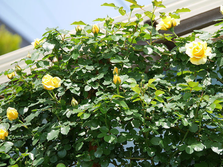 つるゴールドバニー(ツルバラ)の花が増えて来た。2019年-21.jpg