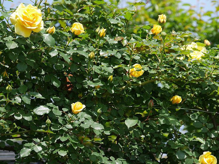 つるゴールドバニー(ツルバラ)の花が増えて来た。2019年-23.jpg