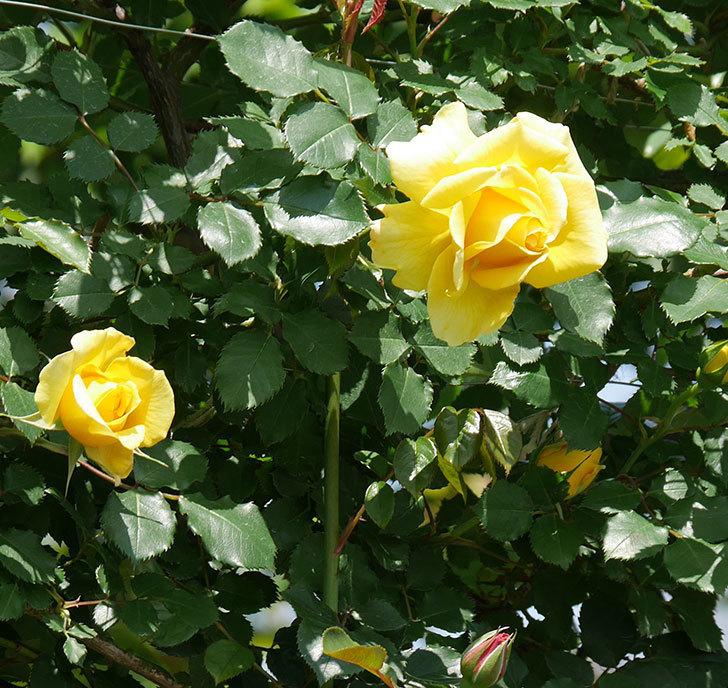 つるゴールドバニー(ツルバラ)の花が増えて来た。2019年-24.jpg