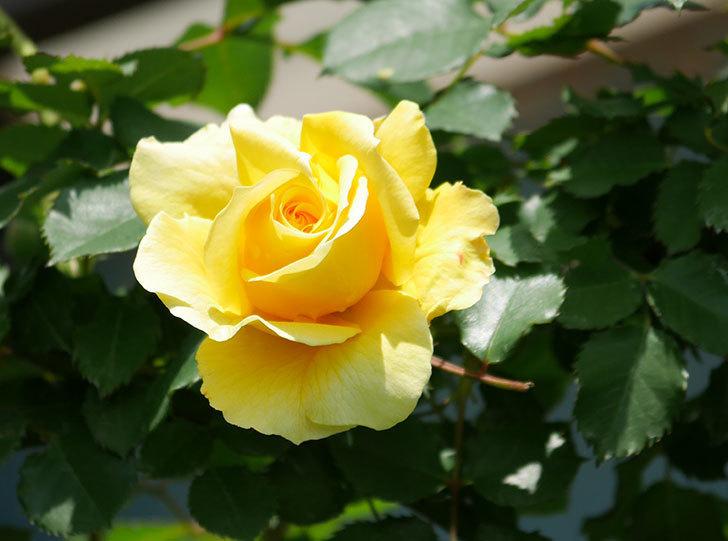 つるゴールドバニー(ツルバラ)の花が増えて来た。2019年-25.jpg