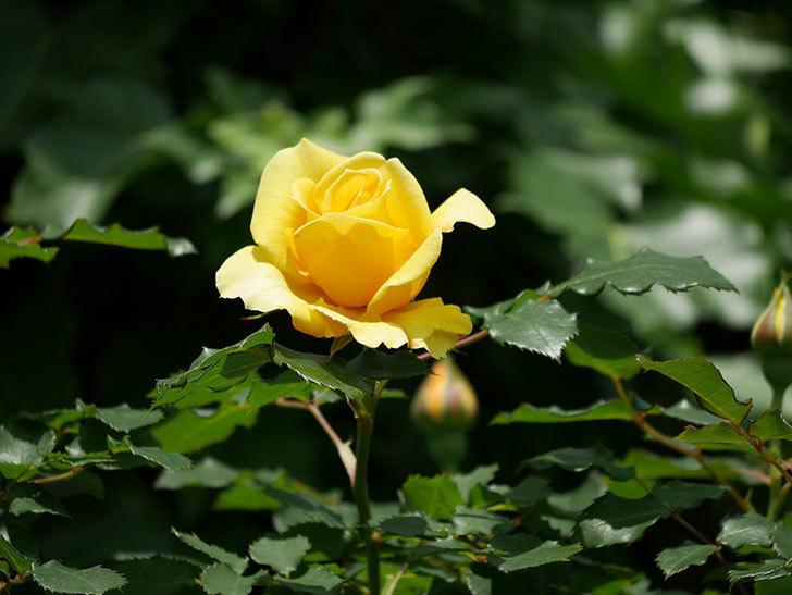 つるゴールドバニー(ツルバラ)の花が増えて来た。2019年-26.jpg