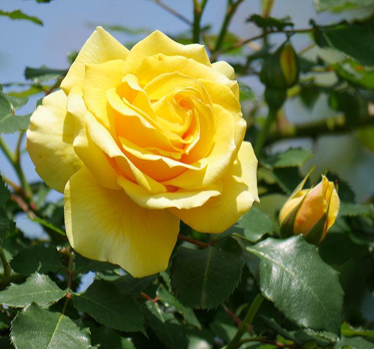 つるゴールドバニー(ツルバラ)の花が増えて来た。2019年-27.jpg