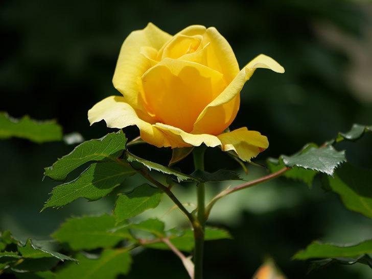 つるゴールドバニー(ツルバラ)の花が増えて来た。2019年-29.jpg