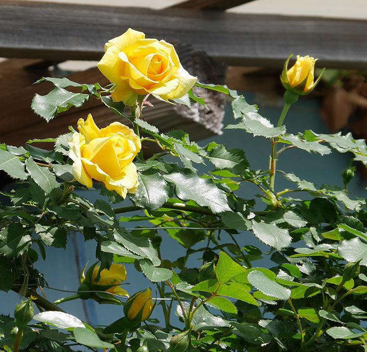 つるゴールドバニー(ツルバラ)の花が増えて来た。2019年-3.jpg