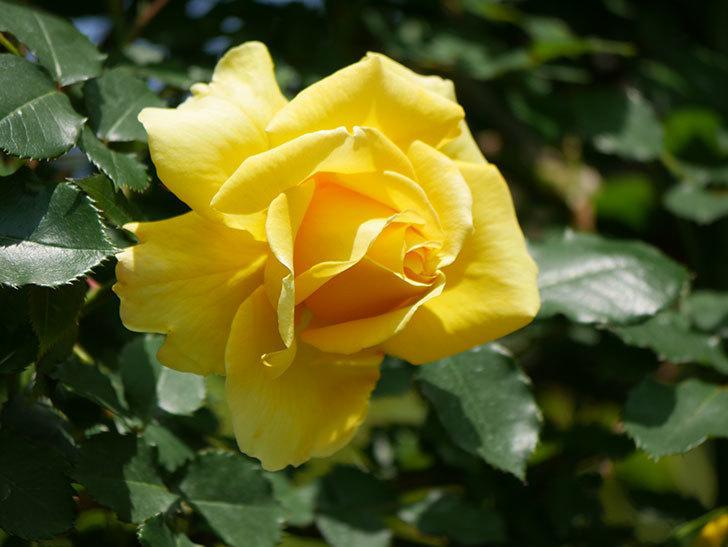 つるゴールドバニー(ツルバラ)の花が増えて来た。2019年-31.jpg