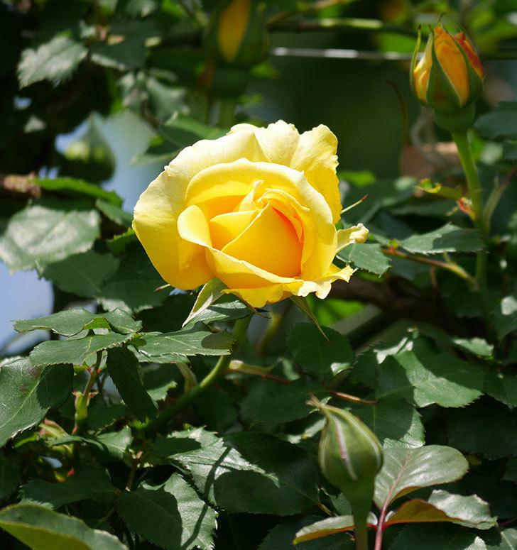 つるゴールドバニー(ツルバラ)の花が増えて来た。2019年-32.jpg