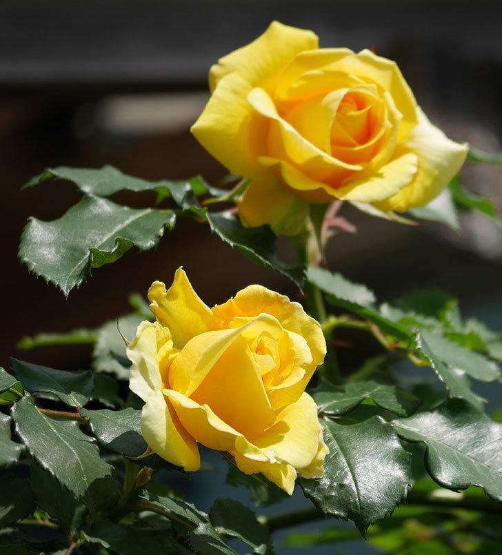 つるゴールドバニー(ツルバラ)の花が増えて来た。2019年-4.jpg