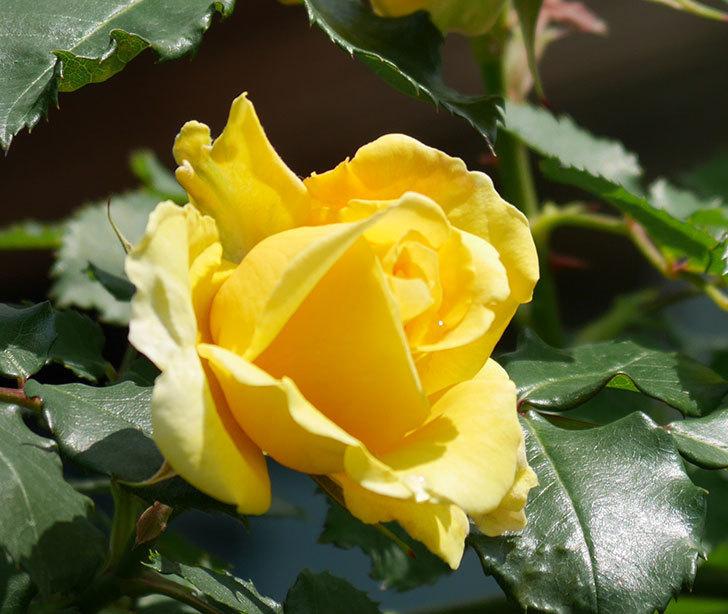 つるゴールドバニー(ツルバラ)の花が増えて来た。2019年-5.jpg