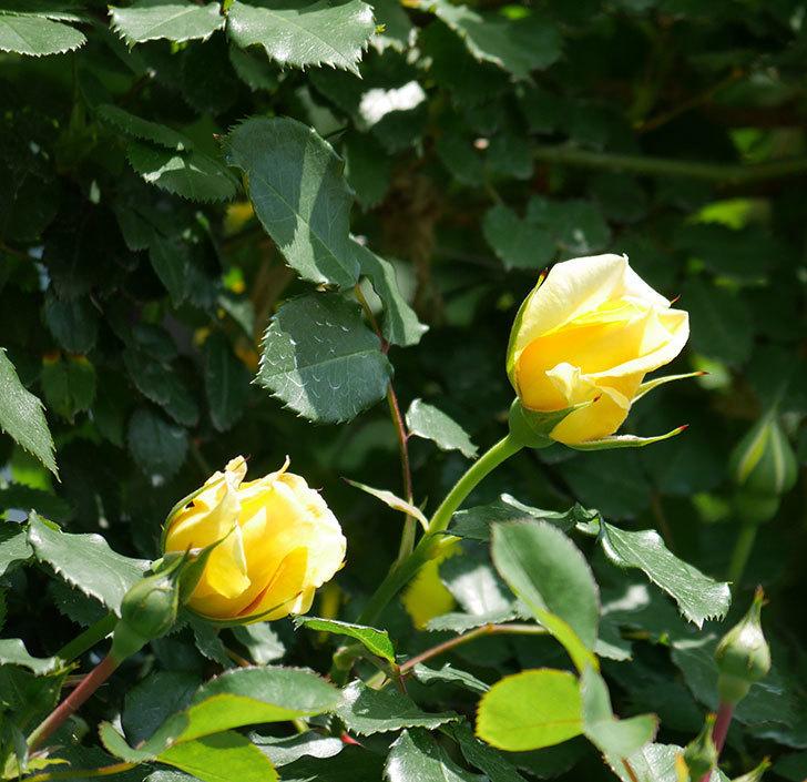 つるゴールドバニー(ツルバラ)の花が増えて来た。2019年-7.jpg