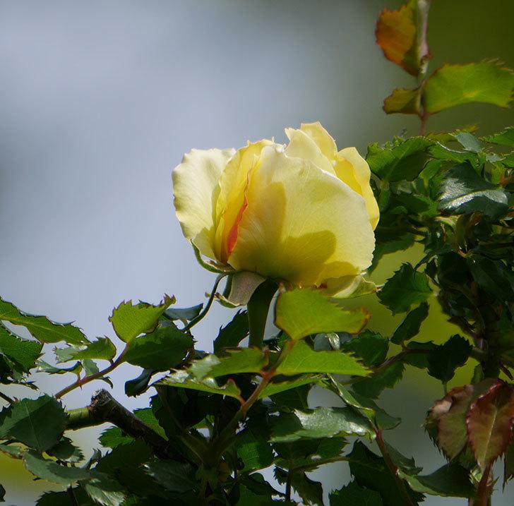 つるゴールドバニー(ツルバラ)の花が少し咲いた。2020年-1.jpg