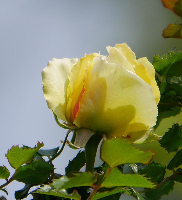 つるゴールドバニー(ツルバラ)の花が少し咲いた。2020年-3.jpg