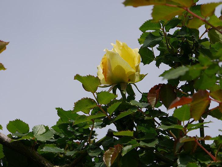 つるゴールドバニー(ツルバラ)の花が少し咲いた。2020年-4.jpg