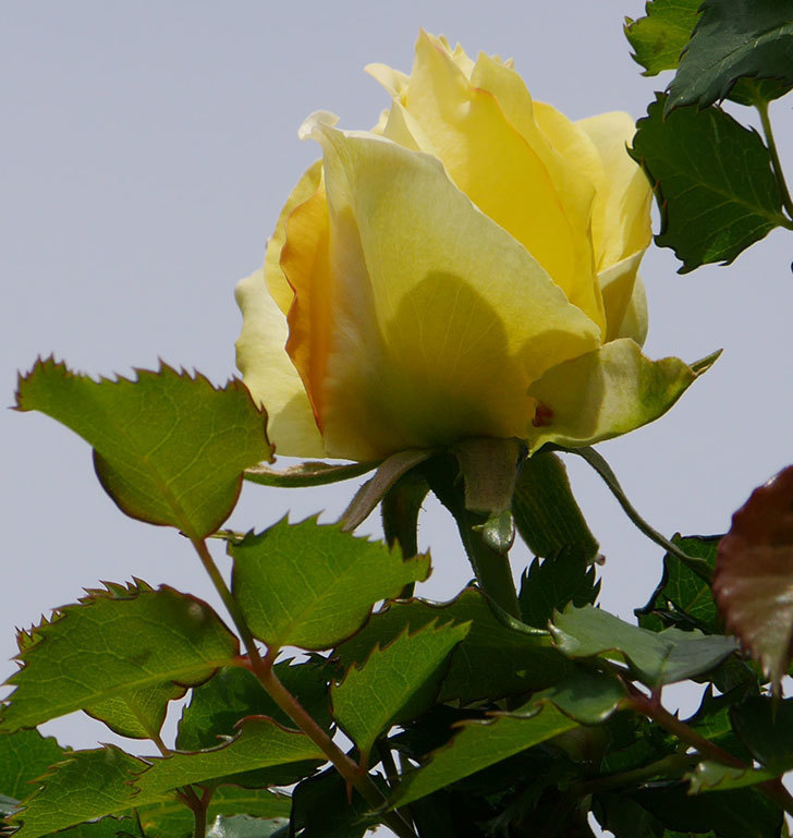つるゴールドバニー(ツルバラ)の花が少し咲いた。2020年-5.jpg