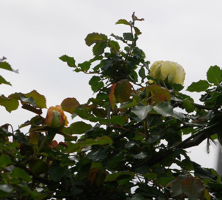 つるゴールドバニー(ツルバラ)の花が少し咲いた。2020年-6.jpg