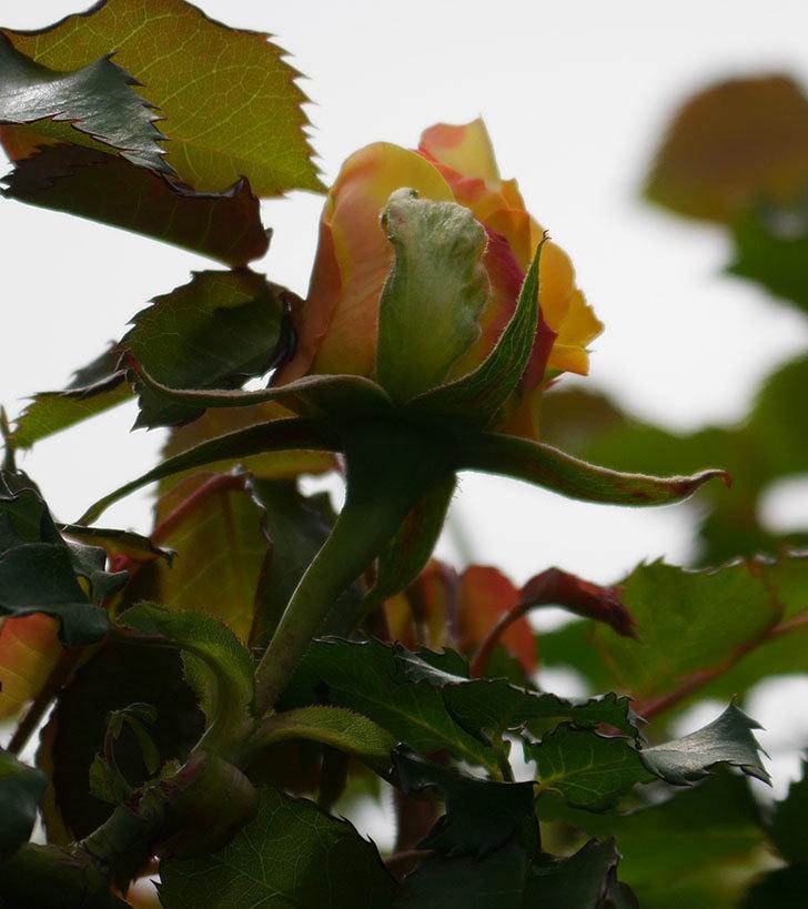 つるゴールドバニー(ツルバラ)の花が少し咲いた。2020年-7.jpg
