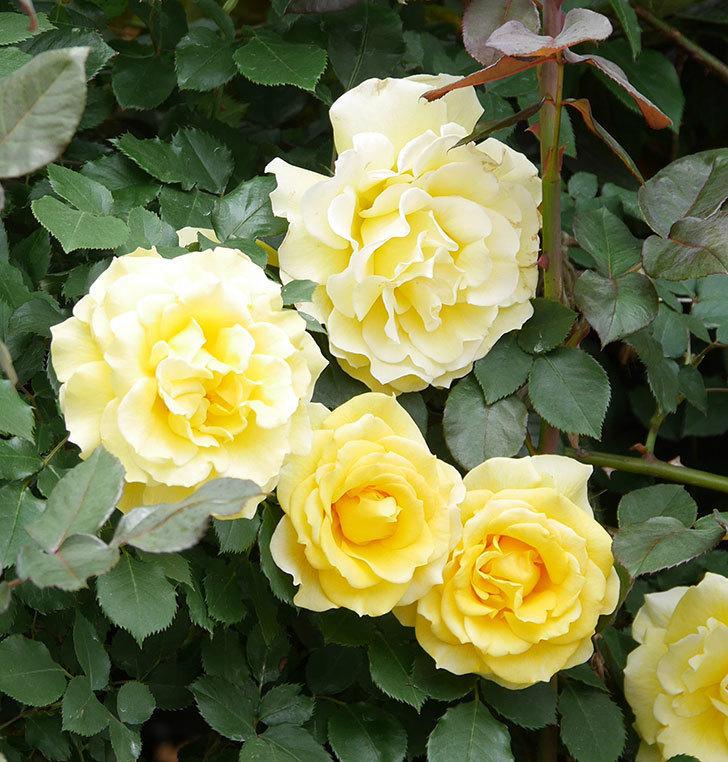 つるゴールドバニー(ツルバラ)の花が満開になった。2019年-10.jpg
