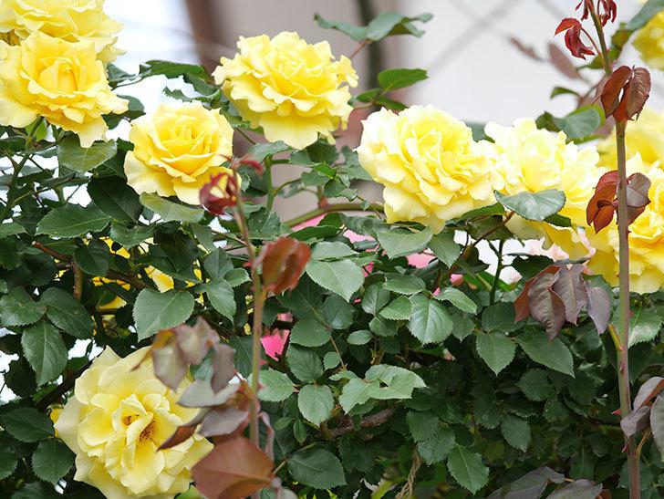 つるゴールドバニー(ツルバラ)の花が満開になった。2019年-11.jpg