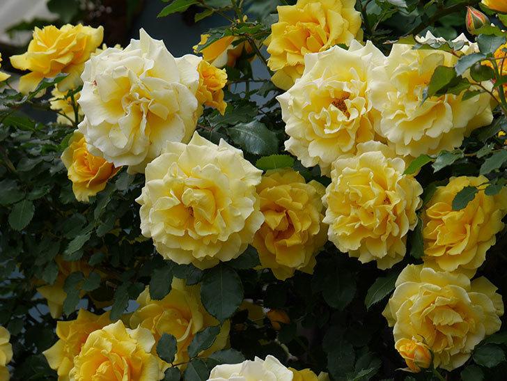 つるゴールドバニー(ツルバラ)の花が満開になった。2019年-12.jpg